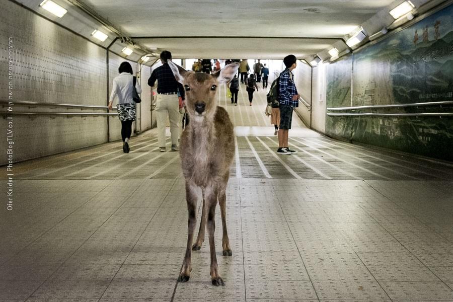 קיוטו, יפן | Kyoto, Japan | פארק נארה Nara Deer Park | המצלמה מוסיפה חמישה קילו | בלוג הצילום של עופר קידר