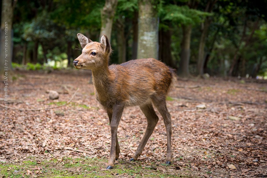 טיול לקיוטו קיוטו, יפן | Kyoto, Japan | פארק נארה Nara Deer Park | המצלמה מוסיפה חמישה קילו | בלוג הצילום של עופר קידר