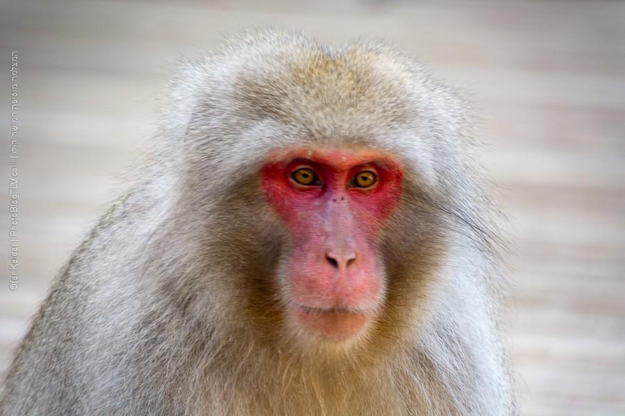 פארק הקופים ג'יגוקודאני | טיול ליפן | jigokudani monkey park | המצלמה מוסיפה חמישה קילו | בלוג הצילום של עפר קידר